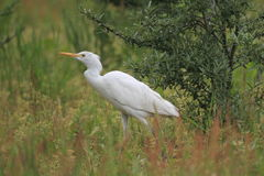 Западный egret скотин Стоковое Изображение RF