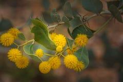 Западный wattle желтого цвета макроса wildflower Австралии родной Стоковые Изображения RF