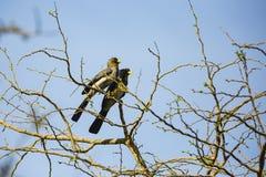 2 западных серых едока подорожника в дереве Стоковое Изображение RF
