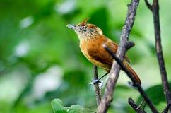 Запертая женщиной птица Antshrike, Тобаго Стоковые Фото