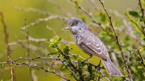 Запертая певчая птица Стоковая Фотография