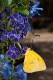 запертая сера phoebis philea бабочки померанцовая Стоковое фото RF