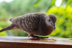 Запертый земной голубь Стоковое Фото
