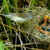 запертый мыжской warbler sylvia nisoria стоковое фото rf