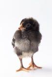 Запертый младенцем цыпленок утеса стоковая фотография
