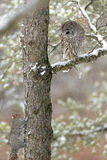 Запертый сыч в дереве Стоковое фото RF