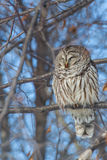 Запертый сыч отдыхая в дереве Стоковое фото RF
