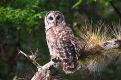 Запертый сыч сидя на ветви дерева Стоковые Фотографии RF