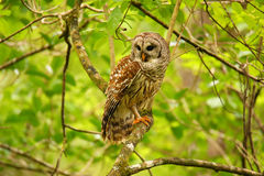 Запертый сыч (varia Strix) сидя на дереве Стоковые Фото