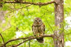 Запертый сыч (varia Strix) сидя на дереве Стоковая Фотография RF