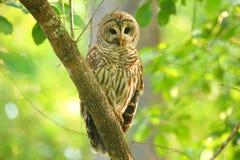 Запертый сыч (varia Strix) сидя на дереве Стоковые Фотографии RF