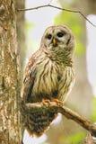 Запертый сыч (varia Strix) сидя на дереве Стоковое фото RF