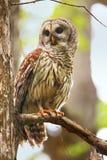 Запертый сыч (varia Strix) сидя на дереве Стоковое Изображение