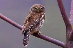 Запертый Owlet Стоковые Изображения