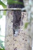 Запертый owlet-nightjar Стоковое Изображение