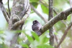 Запертый owlet-nightjar Стоковые Изображения RF