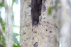 Запертый owlet-nightjar Стоковое Изображение RF