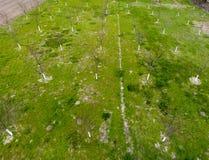 Запланированный сад вишни Молодые деревья сладостной вишни Лужайка в Стоковые Фото