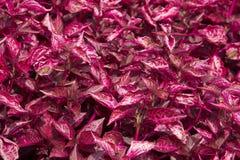 Заплата розовых caladiums лист ремня jem Стоковая Фотография RF