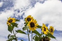 Заплата солнцецветов Стоковые Изображения
