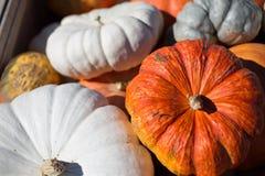 Заплата тыквы хеллоуина, жизнь фермы благодарения Стоковые Изображения RF