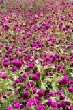 Заплата фиолетовых цветков Стоковая Фотография RF