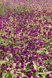 Заплата фиолетовых цветков Стоковое Изображение