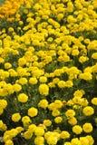 Заплата цветка желтых ноготков Стоковые Изображения RF