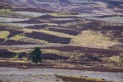 Заплатка вересковой пустоши вереска с изолированным деревом Стоковое Изображение