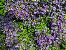 заплетенная загородка clematis Стоковая Фотография