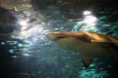 заплывание акулы Стоковые Фото