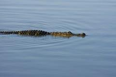 заплывание аллигатора американское Стоковое Фото