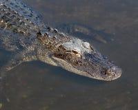 Заплывание аллигатора в болоте Стоковые Изображения