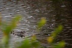 Заплывание аллигатора к вам Стоковое Изображение RF