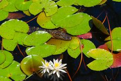 Заплывание аллигатора младенца в болоте Стоковая Фотография