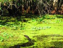 Заплывание аллигатора через плавать акватическая вегетация стоковые фото