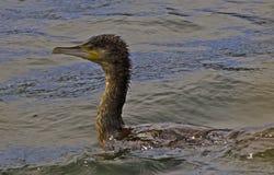 Заплывание баклана Стоковое Изображение