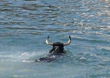 заплывание быка Стоковые Изображения RF