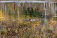 Заплывание выдры в национальном парке Канаде Mauricie Ла стоковые фотографии rf