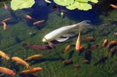 Заплывание вырезуба Koi в отмелом бассеине Стоковые Фото