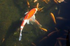 Заплывание вырезуба Koi в отмелом бассеине Стоковые Фотографии RF
