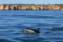 Заплывание дельфина в Алгарве стоковая фотография