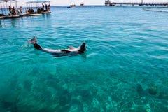 Заплывание дельфина в море Стоковая Фотография
