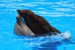 Заплывание дельфина и морского котика в бассейне Стоковое фото RF