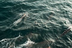 Заплывание дельфина обтекателя втулки стручка одичалое в Индийском океане Предпосылка природы живой природы Космос для текста Тур стоковое изображение rf