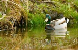 Заплывание дикой утки в озере Стоковое фото RF