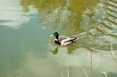 Заплывание дикой утки в парке Стоковая Фотография RF