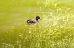 Заплывание дикой утки в пруде Стоковые Изображения