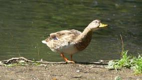 Заплывание дикой утки на озере горы Утка на пруде Дикая утка с падениями воды акции видеоматериалы