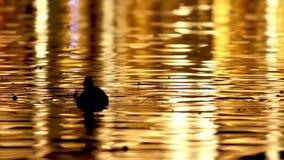 Заплывание дикой утки на озере на зоре сток-видео
